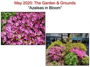 05-13 Azaleas in Bloom